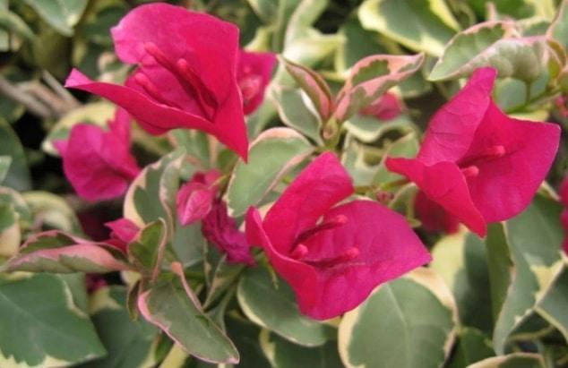 Bunga Kertas Pengertian Klasifikasi Dan Jenis Jenis Bunga Kertas