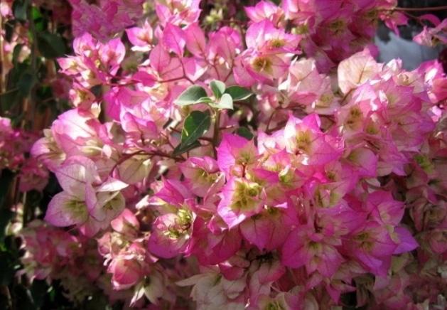 bunga-kertas-cherry-blossom