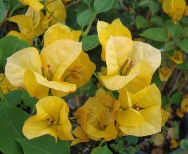 bunga-kertas-gold-rush