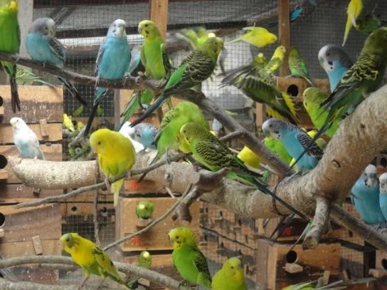 cara-beternak-atau-budidaya-burung-parkit