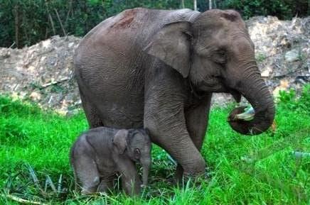 gajah-kerdil-borneo-elephas-maximus-borneensis