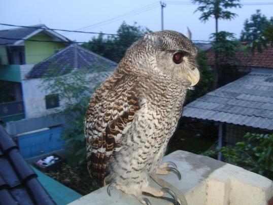 hingkik-bubo-sumatranus