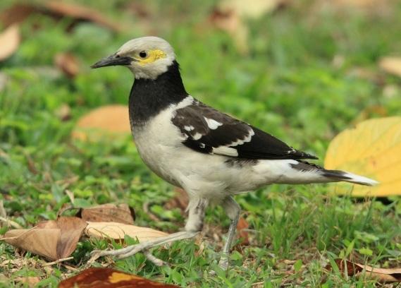 jalak-thailand-atau-black-collared-starling-sturnus-nigricollis