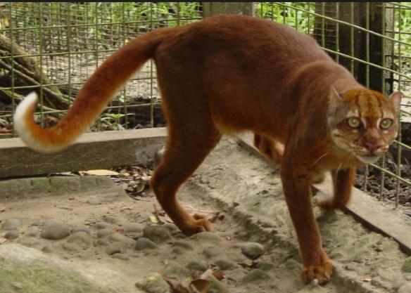 kucing-merah-pardofelis-badia