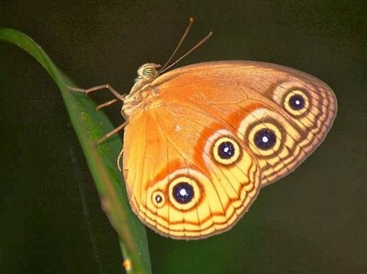 kupu-kupu-glossogobius-matanensis