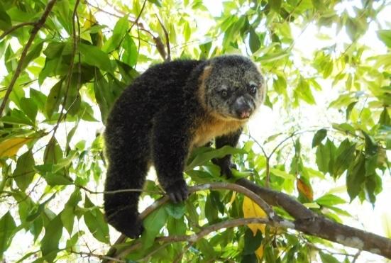 kuskus-beruang-sulawesi-ailurops-ursinus
