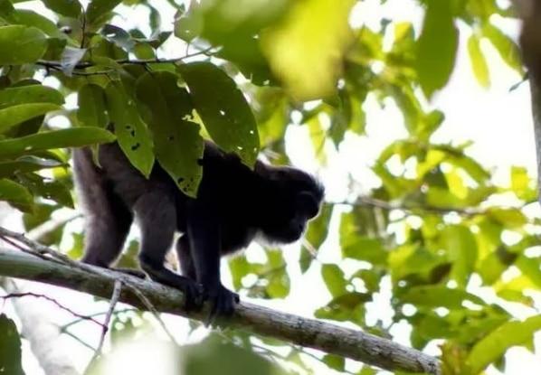 monyet-gorontalo-macaca-nigrescens