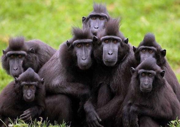 monyet-hitam-sulawesi-macaca-nigra