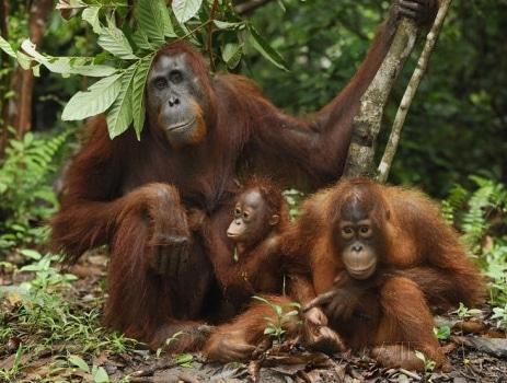 orangutan-kalimantan-pongo-pygmaeus