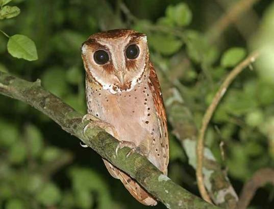 wowo-wiwi-phodilus-badius