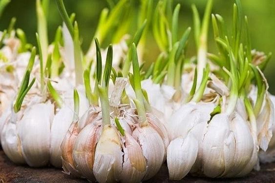 bibit-bawang-putih