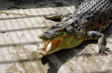 buaya-kalimantan-crocodylus-raninus