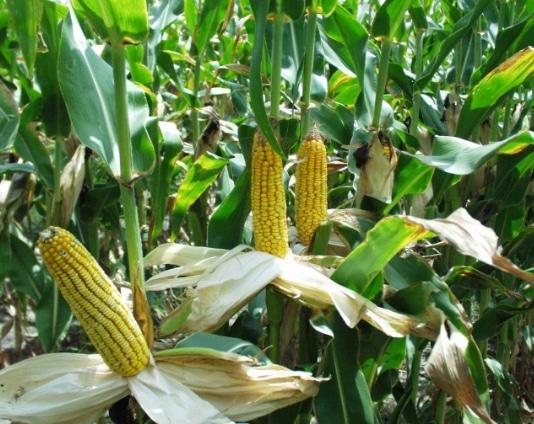 pemanenan-jagung