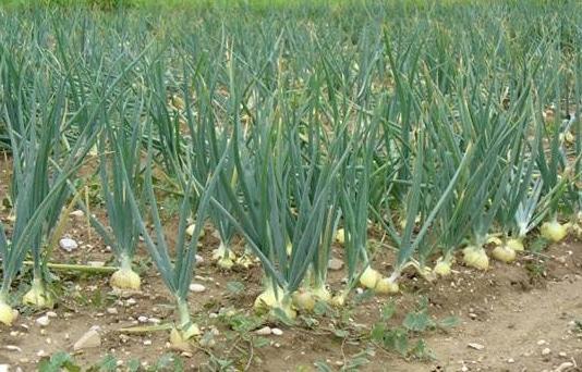 cara-menanam-atau-budidaya-bawang-putih
