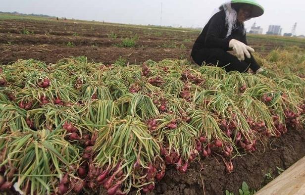 pemanenan-bawang-merah
