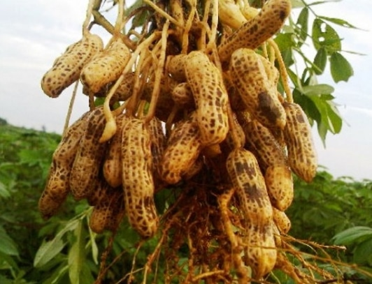 pemanenan-kacang-tanah