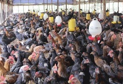 pemeliharaan ayam kampung dengan cara dikandang