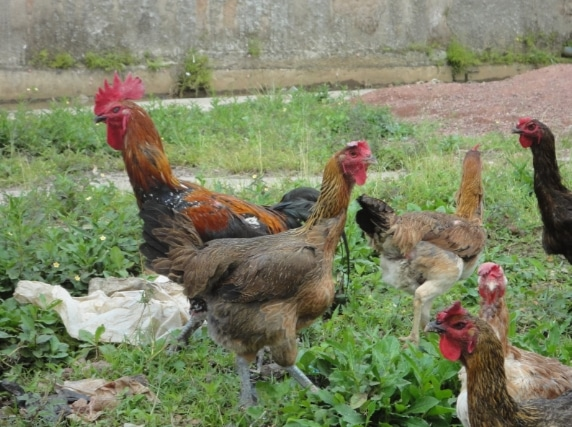 pemeliharaan ayam kampung dengan cara di liarkan
