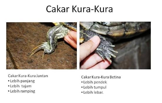 perbedaan-cakar-kura-kura-betina-dan-jantan