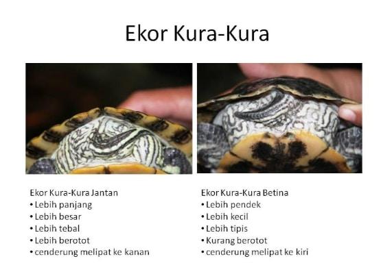 perbedaan-ekor-kura-kura-jantan-dan-betina
