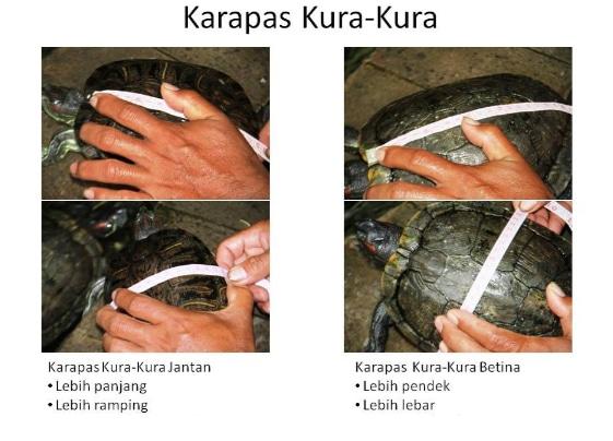perbedaan-kerapas-atau-cangkang-pada-kura-kura