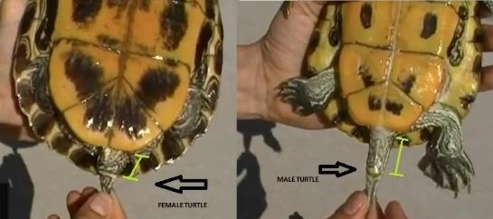 perbedaan-kloaka-pada-kura-kura-jantan-dan-betina