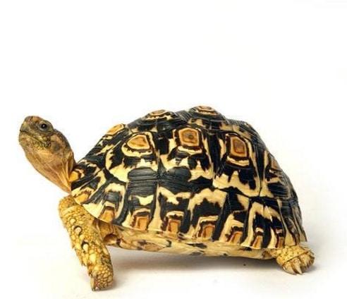 perbedaan-kura-kura-jantan-dan-betina
