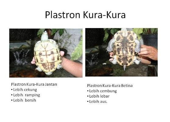 perbedaan-plastron-pada-kura-kura-jantan-dan-betina