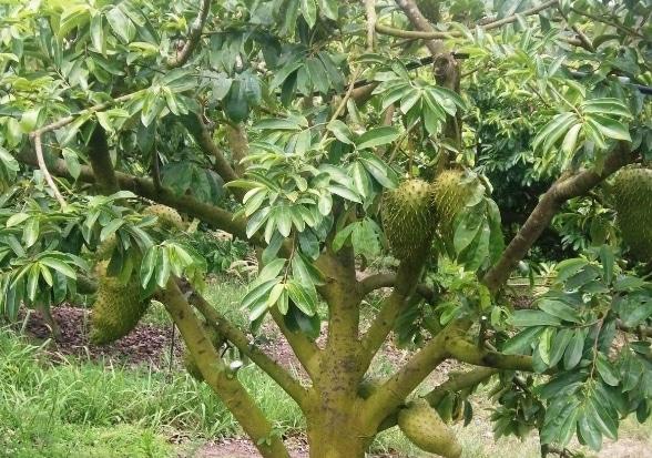 pohon-sirsak