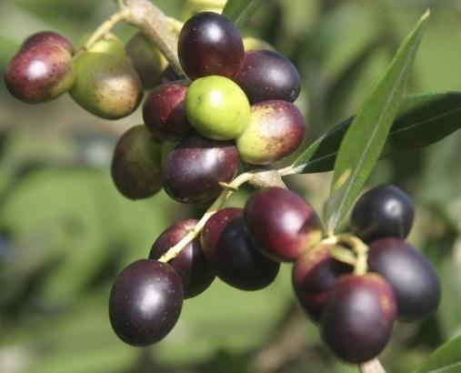 buah-zaitun