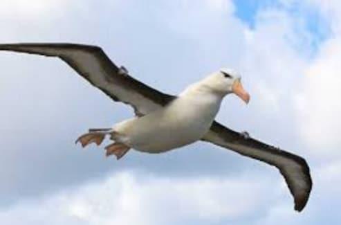 burung-albatross