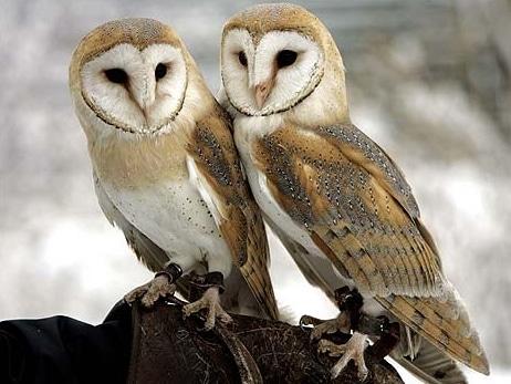 burung-hantu-barn