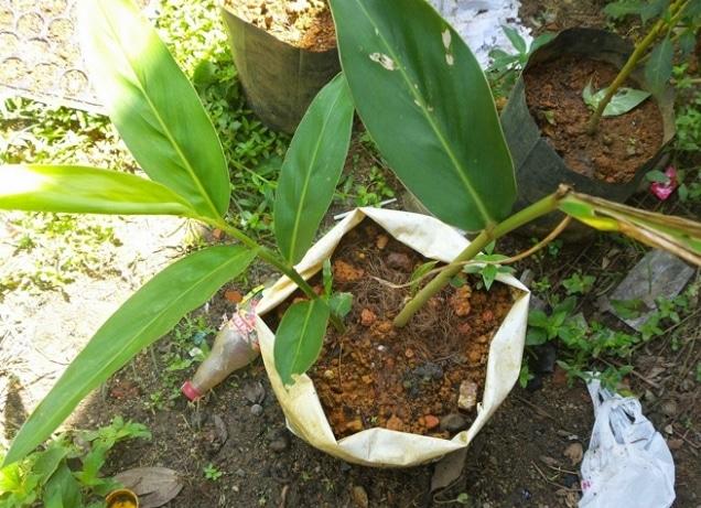 cara-menanam-dan-budidaya-lengkuas-menggunakan-polybag-dan-pot-dengan-mudah