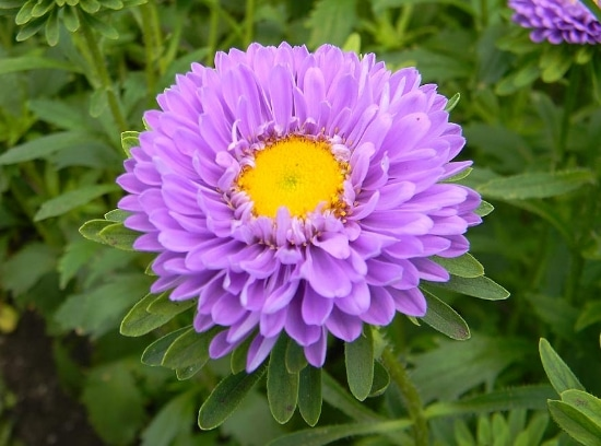 cara-menanam-dan-merawat-bunga-aster-dengan-4-langkah-mudah