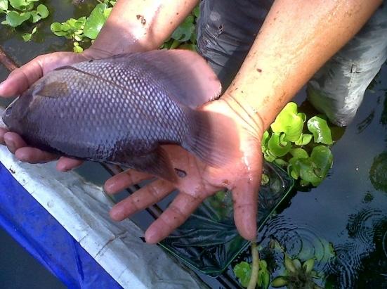 Cara Praktis Budidaya Ikan Gurame Agar Cepat Besar Dan Panen Faunadanflora Com