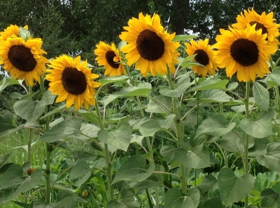 Hasil gambar untuk tanaman bunga mata hari