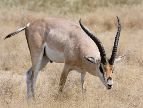grants-gazelle