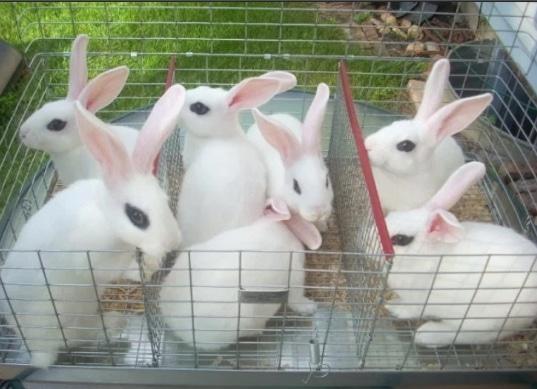 kelinci-polish