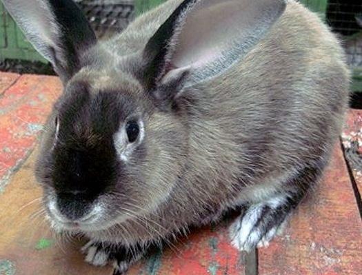 kelinci-satin