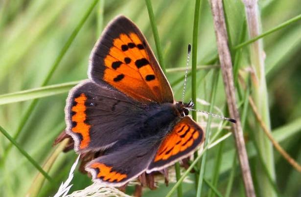 kupu-kupu-copper
