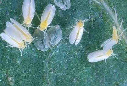 hama-kutu-kebul-atau-lalat-putih-basimia-tabaci- pada- tanaman-kacang-panjang