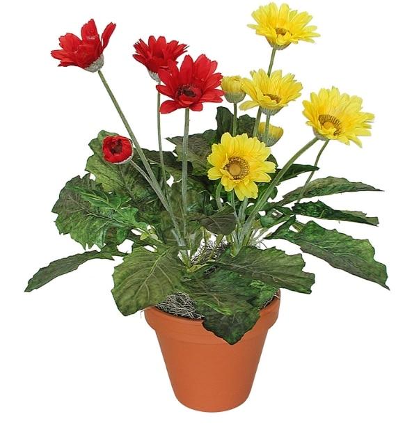 gerber-daisy-gerbera-jamesonii