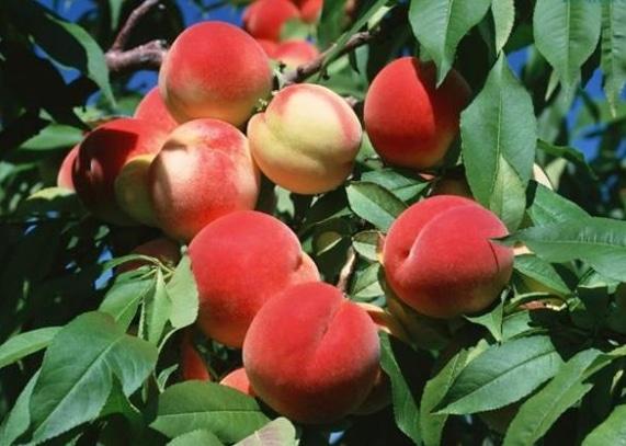 manfaat-buah-persik