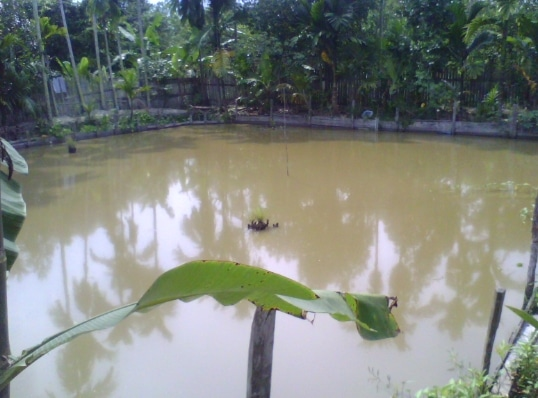 budidaya-ikan-bawal-kolam-tanah