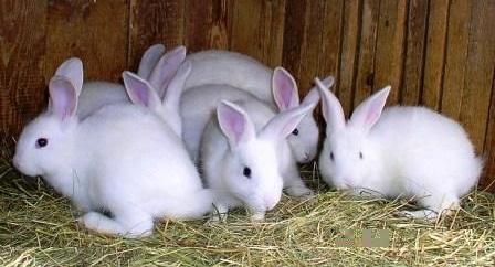 cara-budidaya-ternak-kelinci