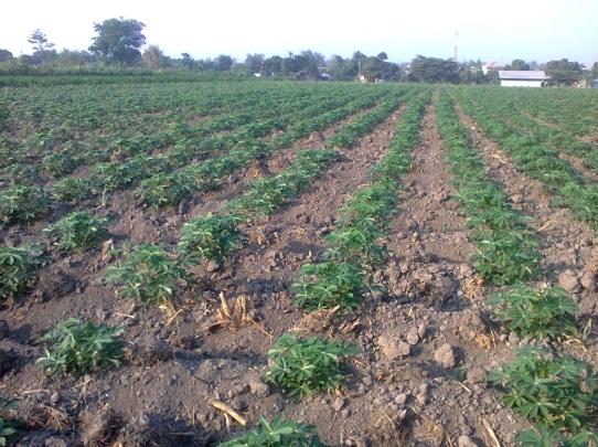 cara-menanam-ubi-kayu-singkong-atau-ketela-pohon