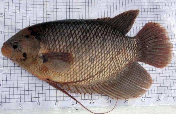 ikan-gurame