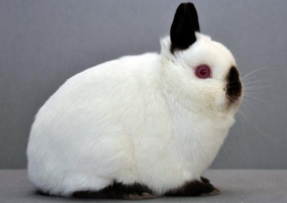 kelinci-himalayan