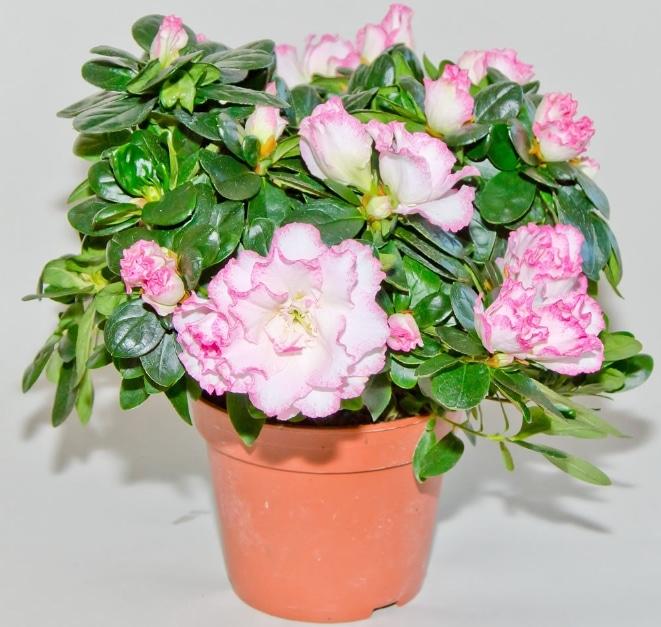 bunga-azalea-atau-rhododendron