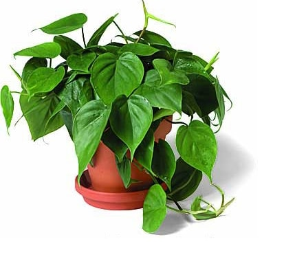 heart-leaf-philodendron-philodendron-oxycardium